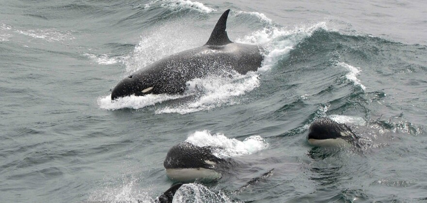 A rare photo of Type D killer whales in 2011. (J.P. Sylvestre/NOAA)