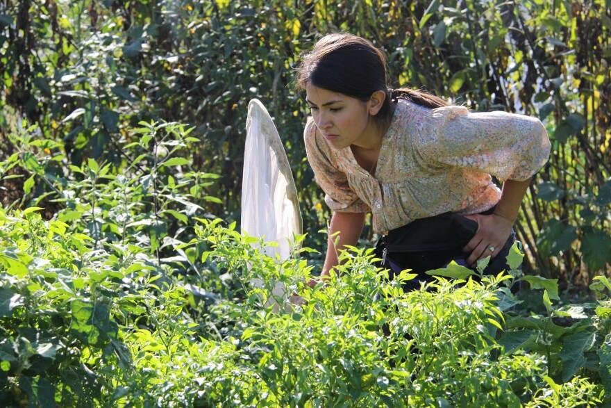 Saint Louis University graduate student Paige Muñiz looks for bees at the International Institute of St. Louis' community garden on Folsom Avenue.