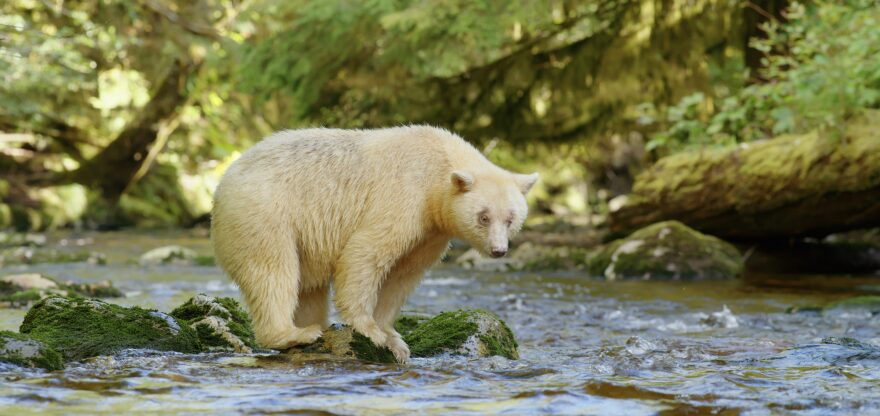 A rare kermode, or spirit bear. (From Great Bear Rainforest, Courtesy MacGillivray Freeman Films)