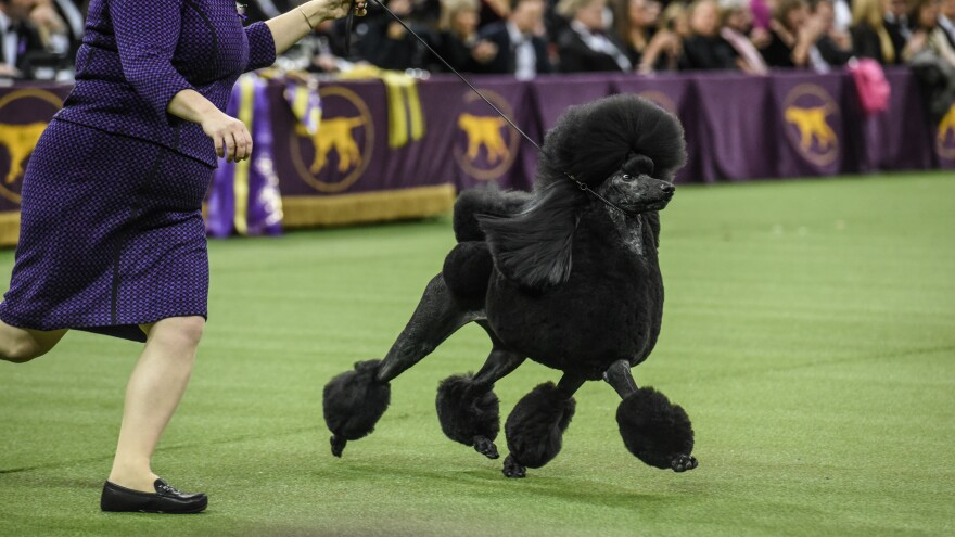 Siba is America's top dog after taking the Best in Show award Tuesday at the Westminster Kennel Club dog show in New York.