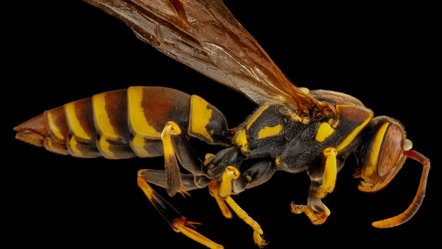 A wasp.