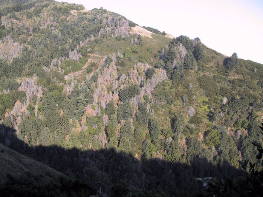 Trees killed by sudden oak death on a hillside in Big Sur, California, in 2006. The pathogen that causes sudden oak death was found on some ornamental plants in Illinois.