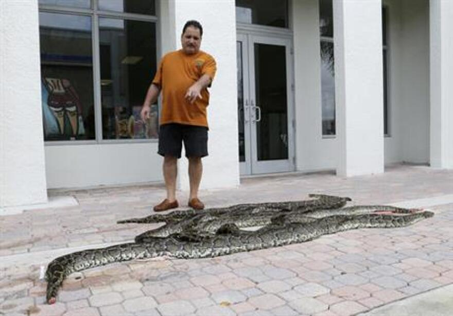 Brian Wood points to purchased pythons at All American Gator Products in Hollywood, Fla. About a third of the pythons have come to Brian Wood, owner of All American Gator Products, to be made into wallets, shoes, belts or handbags.