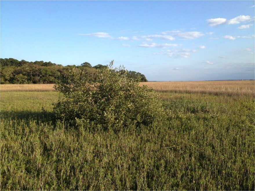 A black mangrove growing in a Saint Augustine salt marsh.