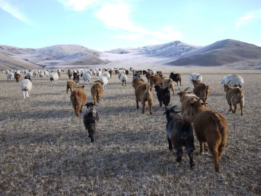 Lkhagvajav Bish's herd of cashmere goats feed on the winter grass in a valley in northeastern Mongolia. The goats' sharp hooves cut through the soil surface, and their eating habits — voraciously ripping up plants by their roots — prevent the grassland from thriving.