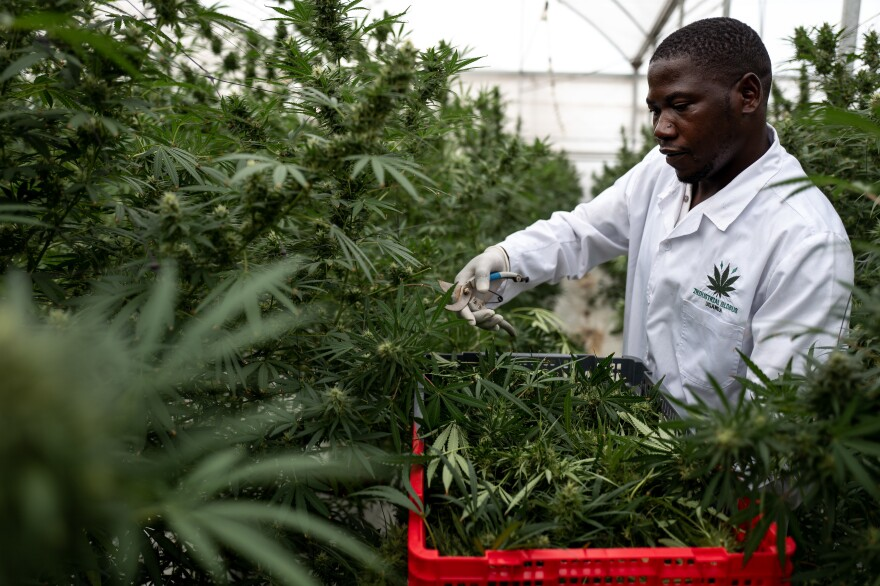 A worker picks Cannabis inside a greenhouse on Nov. 10, in Kasese, Uganda. Uganda is one of several African countries looking to produce medical cannabis for export to Europe and America. On Wednesday, the U.N. Commission on Narcotic Drugs voted to reclassify cannabis.