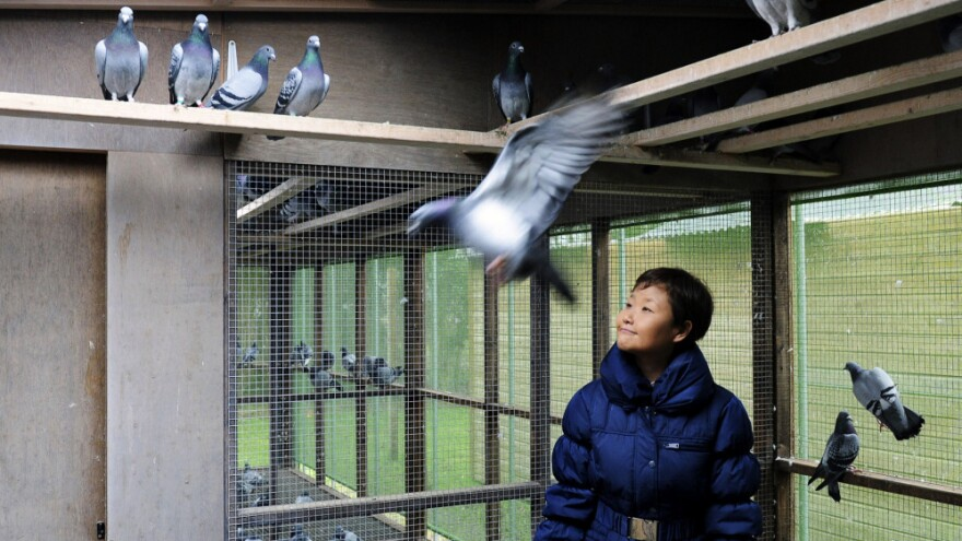 Chinese buyers are driving up the prices of racing pigeons to astronomical levels. One buyer paid $328,000 for a single bird earlier this year. Belgium, however, remains the center of pigeon-breeding. Here, Yi Minna, the chief operating officer at the Pipa pigeon auction house, is shown in Knesselare, Belgium, last year.