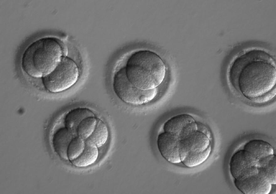 embryos_growing_ohsu.jpg
