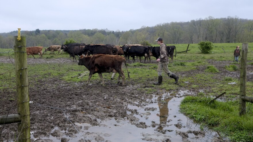 A farmer leads dairy cows from the pasture to the milking barn at a creamery in Gallipolis, Ohio. The USDA launched a $3 billion plan to distribute food to families, called the Farmers to Family Food Box Program.