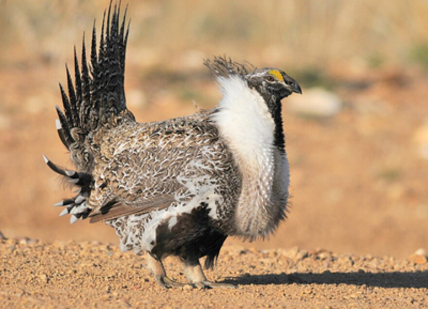 Photo of a greater sage-grouse.