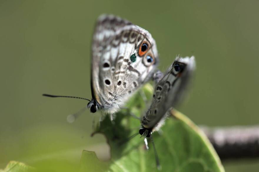 Two Miami Blue butterflies released at Long Key State Park earlier this month to help establish another population of the disappearing butterflies began mating moments after their release.
