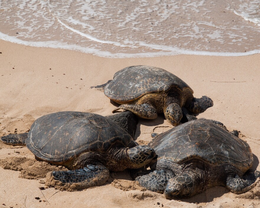 Six Kemp's Ridley Sea Turtles are going back home.