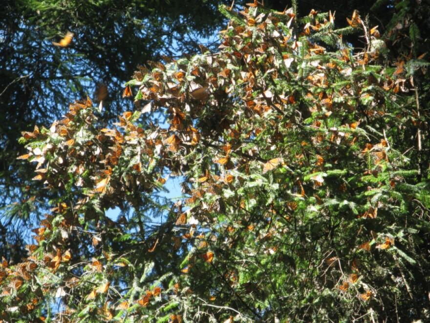 monarch_butterflies_isu.jpg
