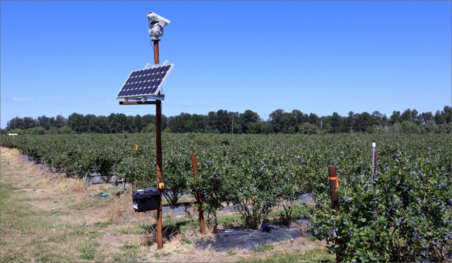 This laser unit is one of six that repel thieving birds from the blueberry fields of Meduri Farms near Jefferson, Oregon.