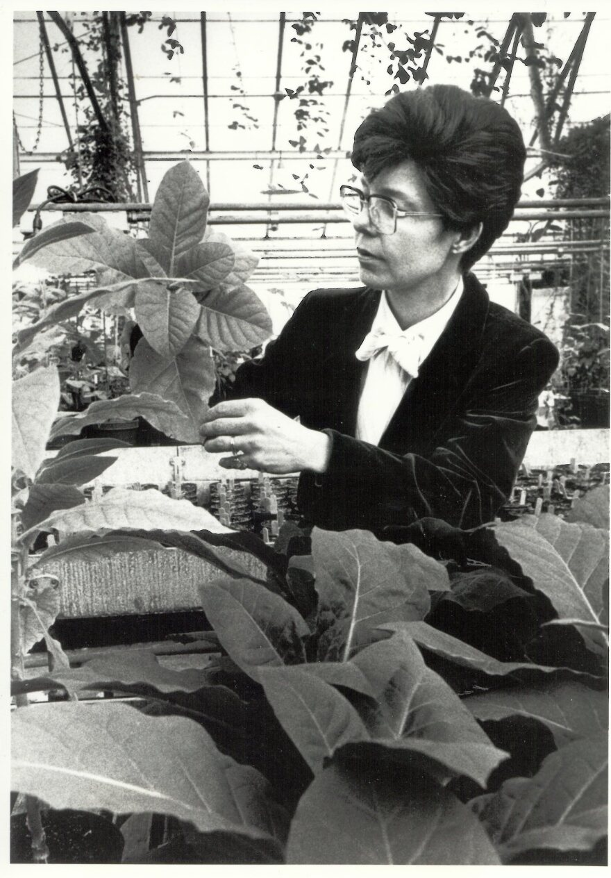 Mary-Dell Chilton examines tobacco plants in a greenhouse at Washington University, where she worked from 1979 to 1983. It was during that time that she led the research that produced the first genetically-engineered plants.