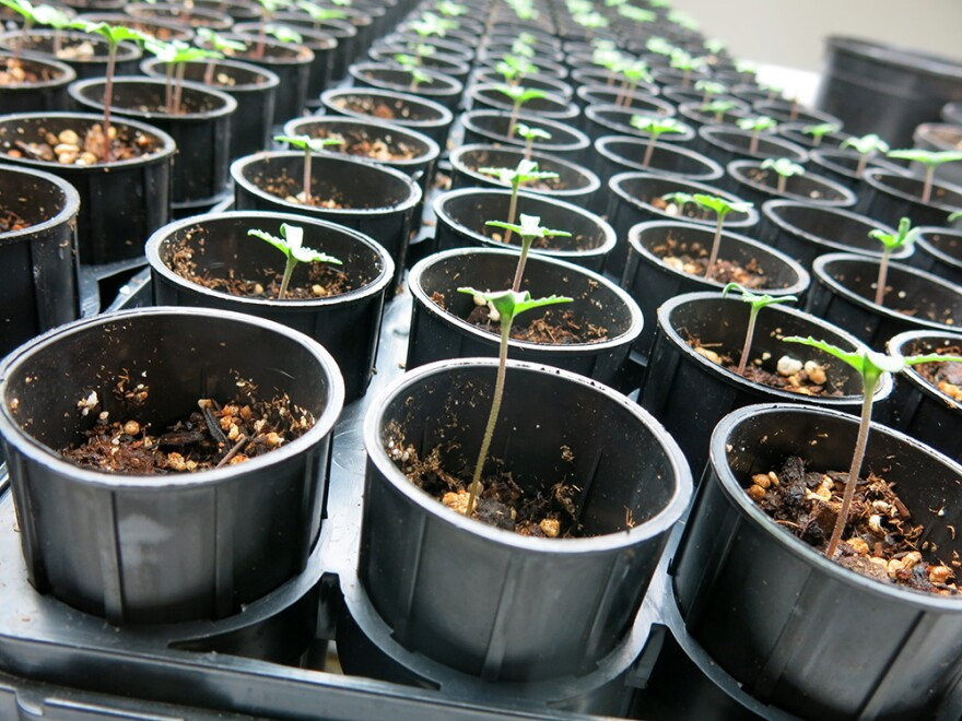011215_HEMP_seedling.jpg