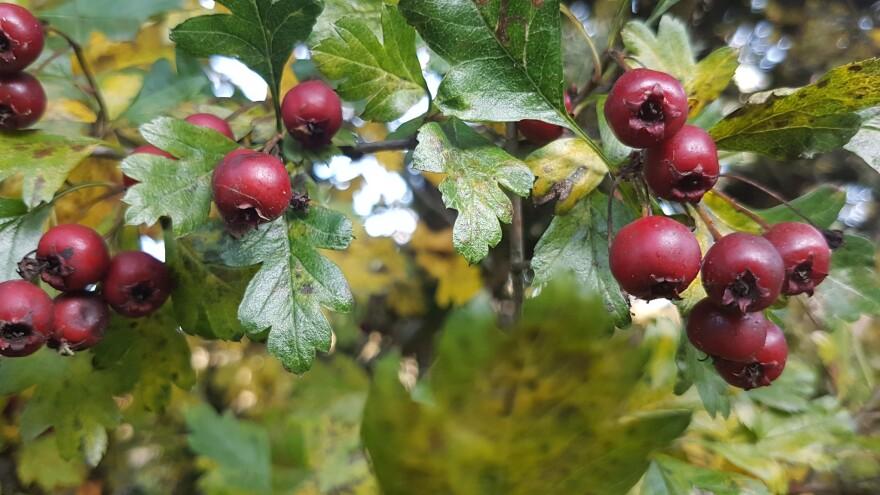 HawthorneBerries_CREDIT-waferboard-Flickr.jpg