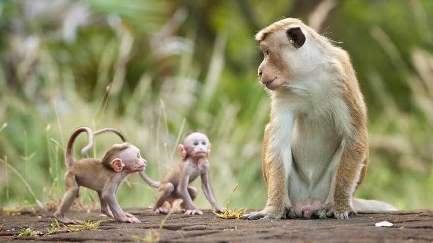Macaque monkey Kumar appears with two infants in <em>Monkey Kingdom. </em>The documentary depicts the complex social hierarchy of the animals.