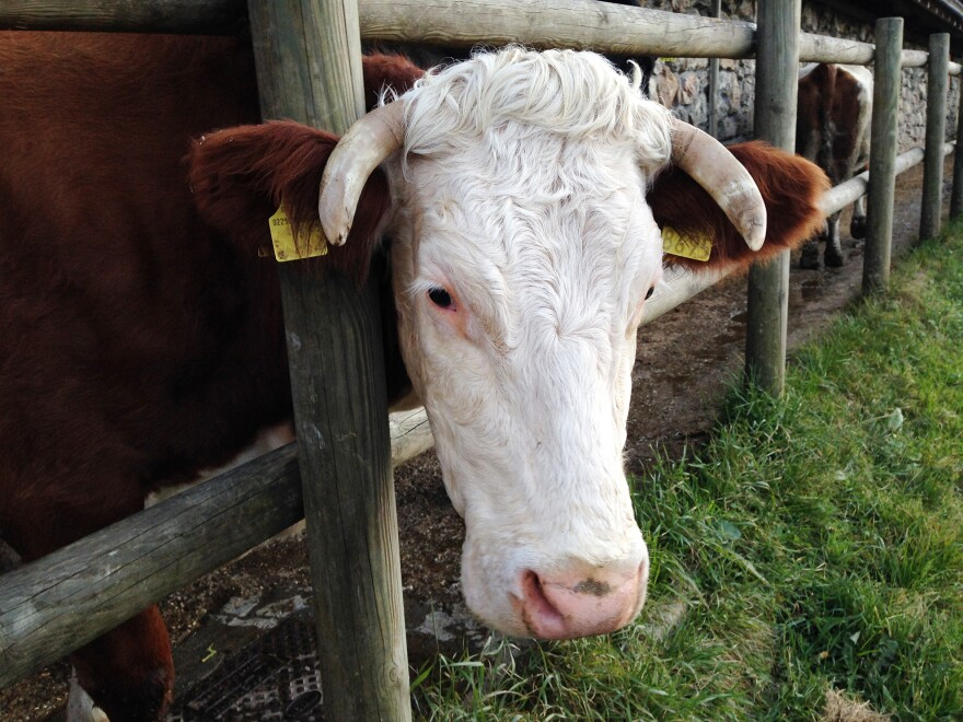 In exchange for a fee of 60 euros, members of Adopt A Cow get an assortment of aged and soft cheeses made from the milk of cows like Mery.