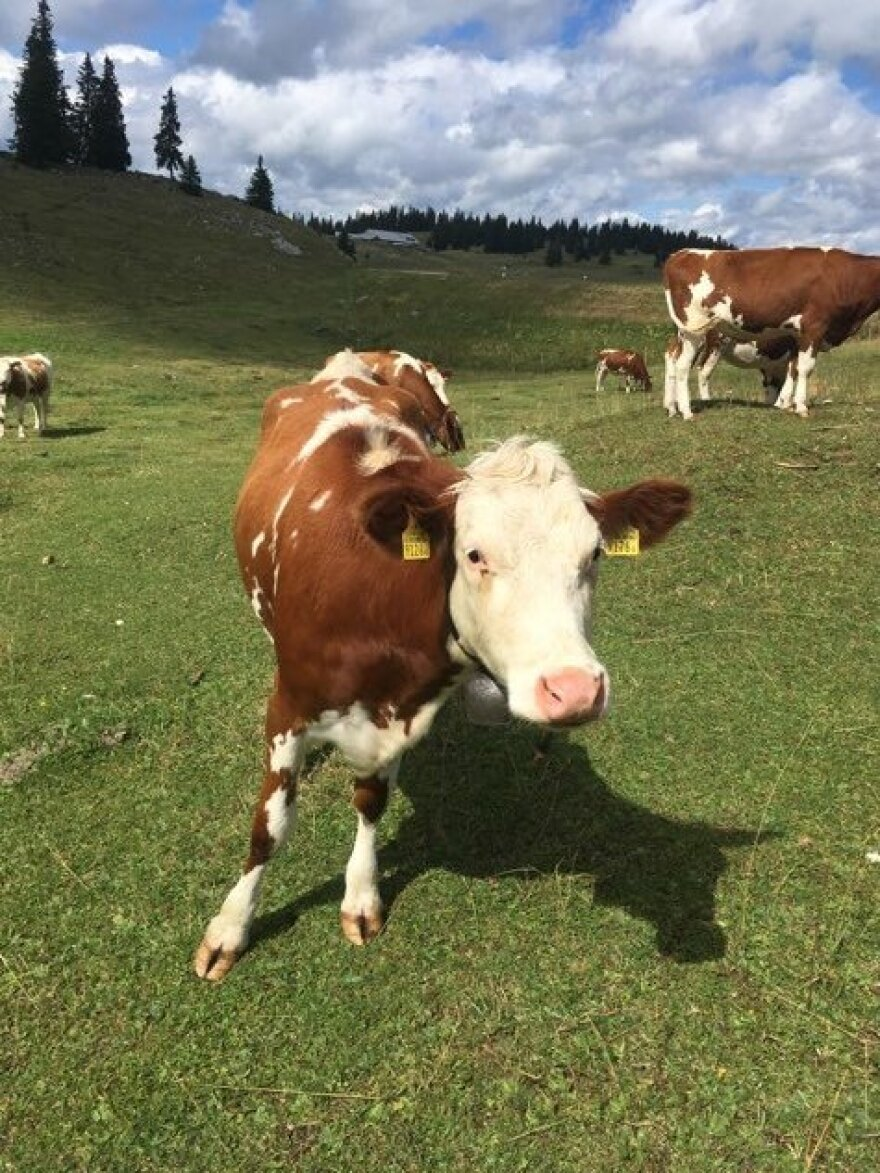 This summer, because of a severe drought in July and August, cows grazing in Swiss mountain pastures haven't had enough to drink.