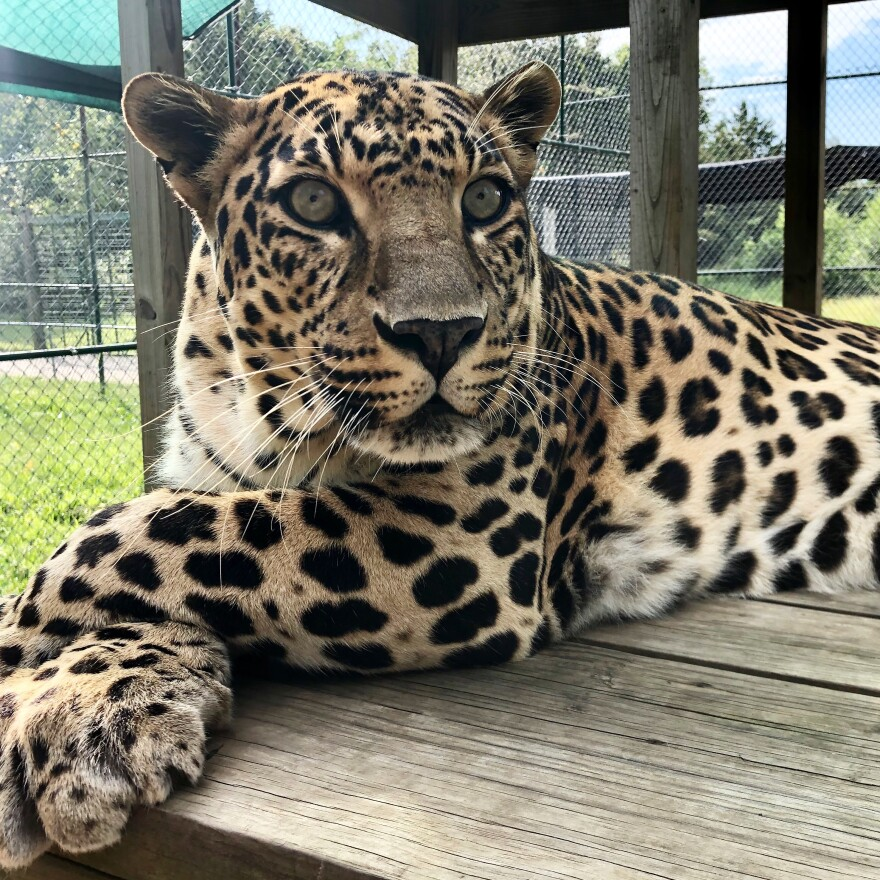 big cat sanctuary_Cedar Cove_photo by Steve Klein.jpeg