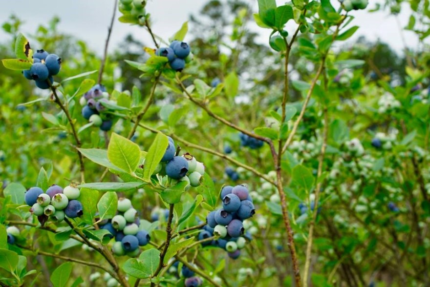 Blueberries at Bud Chiles' farm.