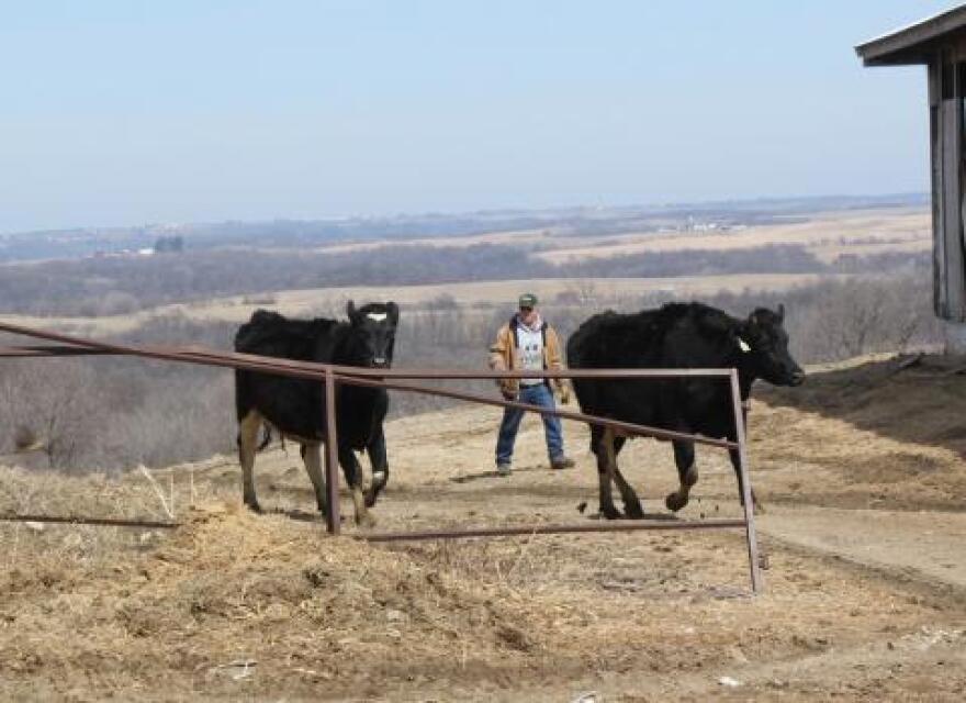 042414_local-system-Weighner-cattle.jpg