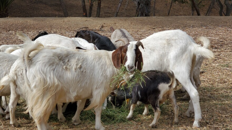 A herd of goats spent the fall in and around Deer Canyon Park in Anaheim, Calif., helping to keep grasses and other potential wildfire fuels in check.