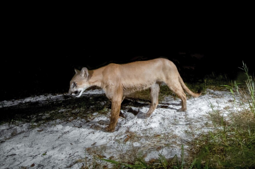 Florida panther roaming sandy grass at night.