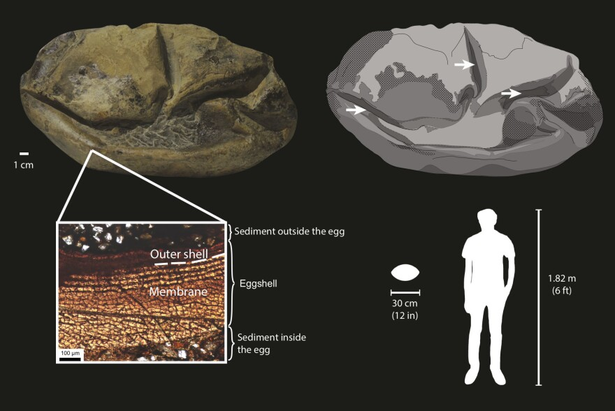 The fossil egg has a soft shell, shown in dark gray in the drawing (upper right), with arrows pointing to its folds and surrounding sediment shown as light gray. The cross section (lower left) shows that the egg consists mostly of a soft membrane surrounded by a very thin outer shell.
