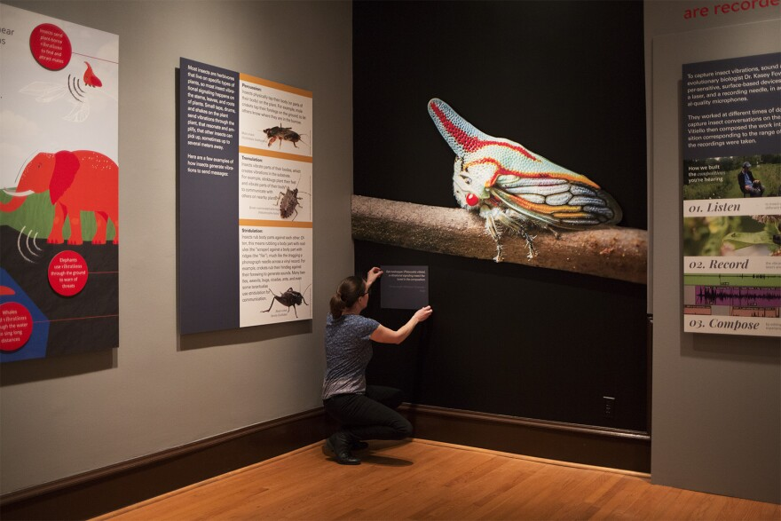"Kasey Fowler-Finn, a St. Louis University biologist, puts the finishing touches on part of the ""Too Hot to Sing"" exhibit at the SLU Museum of Art. Jan 9 2020"