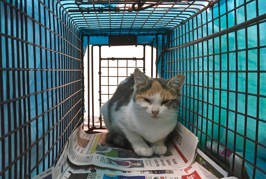 A feral cat recovers after being neutered during a day-long clinic sponsored by the city of St. Louis, Operation Stop Pet Overpopulation and St. Louis Feral Cat Outreach. Volunteers cover the cages of the feral cats to calm them.