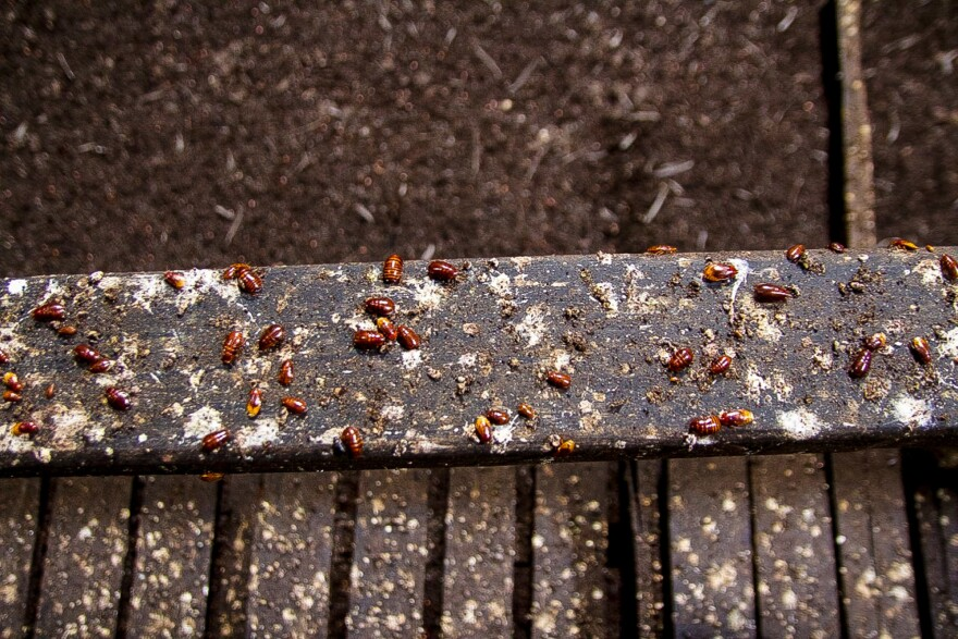 Bat guano and bird feces coat the hand railing of the walkway in the Gomantong Cave. For cockroaches, this concoction is a delicacy, but there's a tiny, tiny chance a dangerous virus lurks inside.