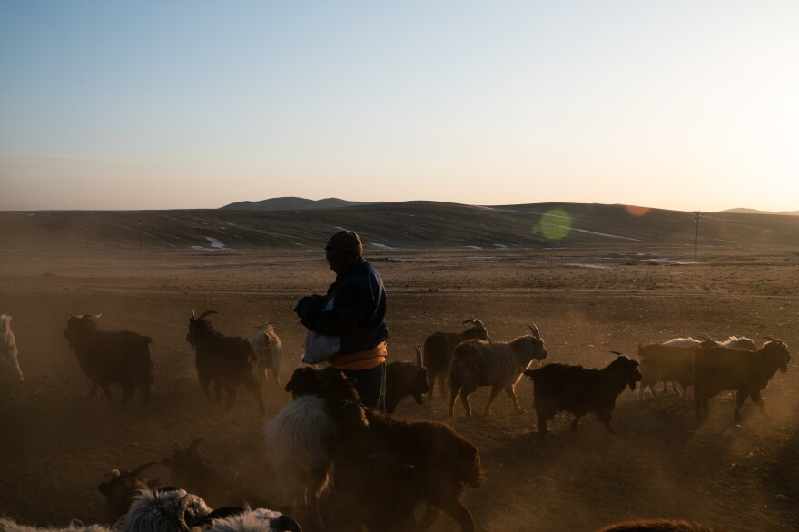 Wearing a <em>deel</em>, a traditional Mongolian overcoat, Nergui feeds his sheep and goats, whose hooves kick up dust in the fading light.