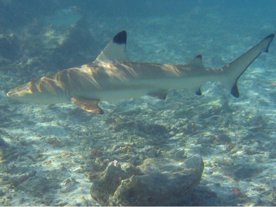 A blacktip reef shark.