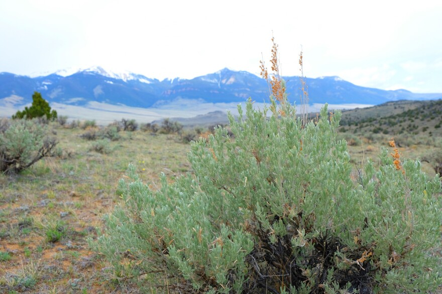 Sagebrush grows in the Sweetwater Hills near Dillon, Montana, May 12, 2020.