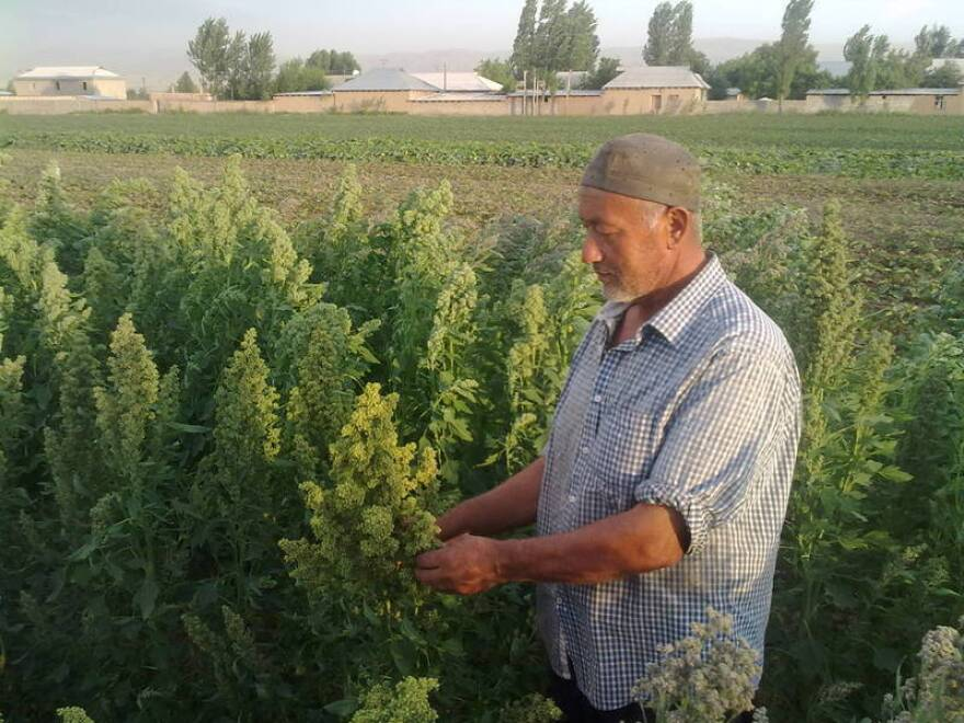 The Food and Agriculture Organization has planted test plots of quinoa in Kyrgyzstan and Tajikistan to see how it fares under the region's climatic conditions.