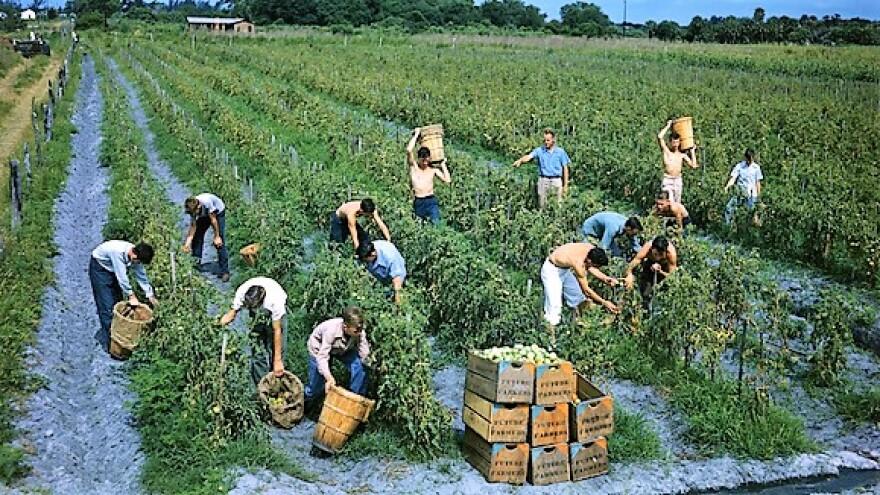 Future Farmers of America picking tomatoes in Palmetto, Florida.