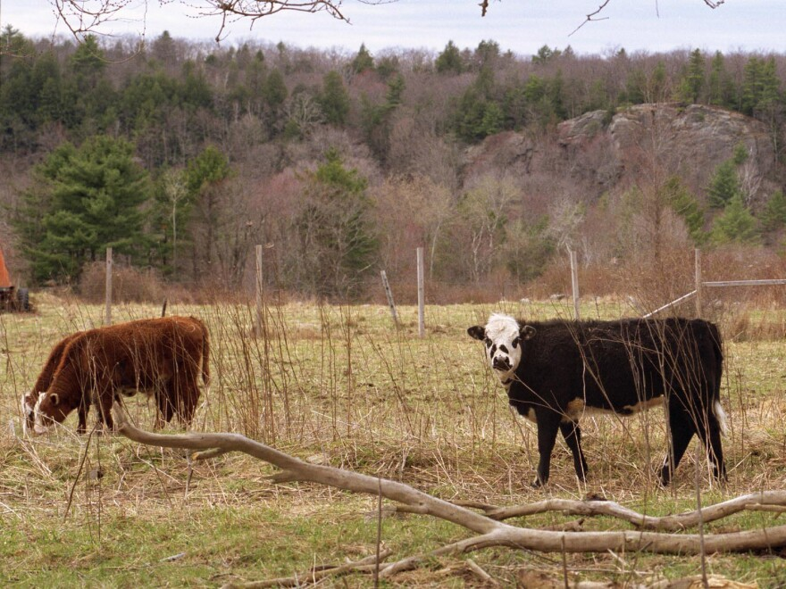 Cows graze in a field in the Podunk section of East Brookfield, Mass.
