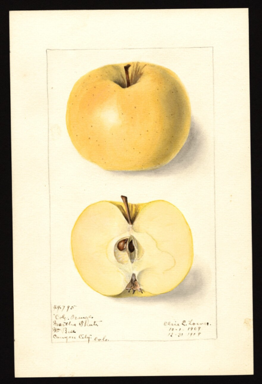 A U.S. Department of Agriculture National Agricultural Library illustration of a Colorado Orange from Fremont County, in 1909.