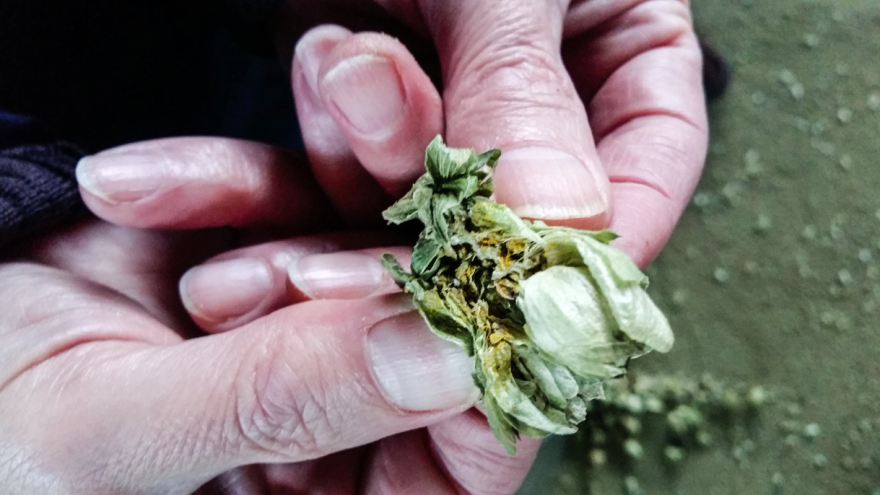 Ignacio Nicolas Campillo, director of a hops production facility in northern Spain, peels apart the flower of the hops plant, to reveal yellow powder inside. The powder is used to make beer.