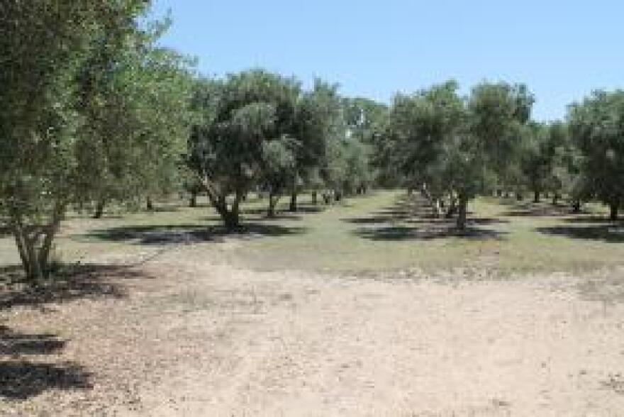 Olive grove near Wimberley.