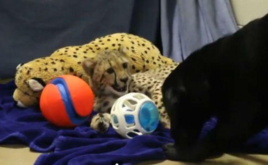 dallas_zoo_winspear_cheetah.jpg