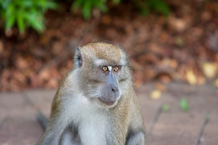 Monkeys' vocal equipment can produce the sounds of human speech, research shows, but they lack the connections between the auditory and motor parts of the brain that humans rely on to imitate words.