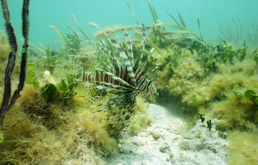 A lionfish in Florida Bay