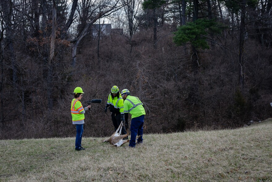 St. Louis Public Radio executive editor Shula Neuman interviews MoDOT's Deon Morris and David Scales as they remove deer from the side of a highway. March 2019