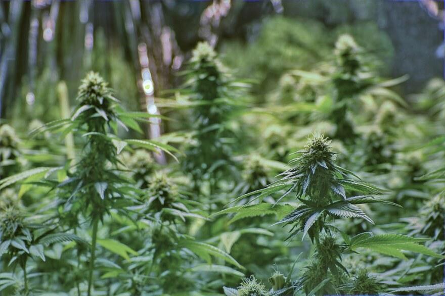 Canadian Marijuana Company Tilray Has First U S Pot Ipo Wusf Public Media