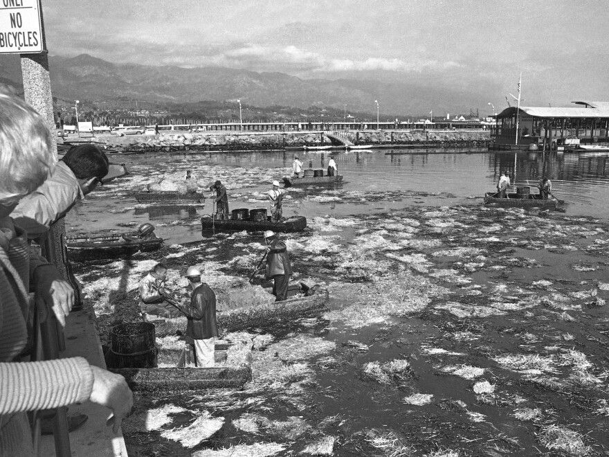 Workmen in small boats gather oil-soaked hay from the water in Santa Barbara, Calif., on Feb. 8, 1969. Officials announced they had finally capped an underwater oil well which had been leaking oil into the ocean for 12 days, fouling harbors and beaches.