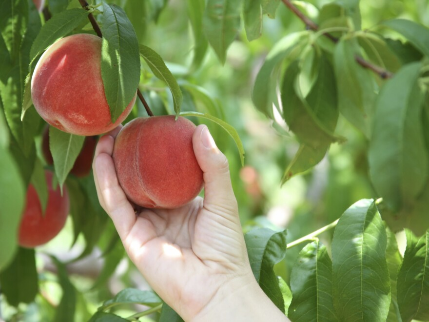 Falling Fruit tells you where you can pick peaches and other foods free for the taking around the world.