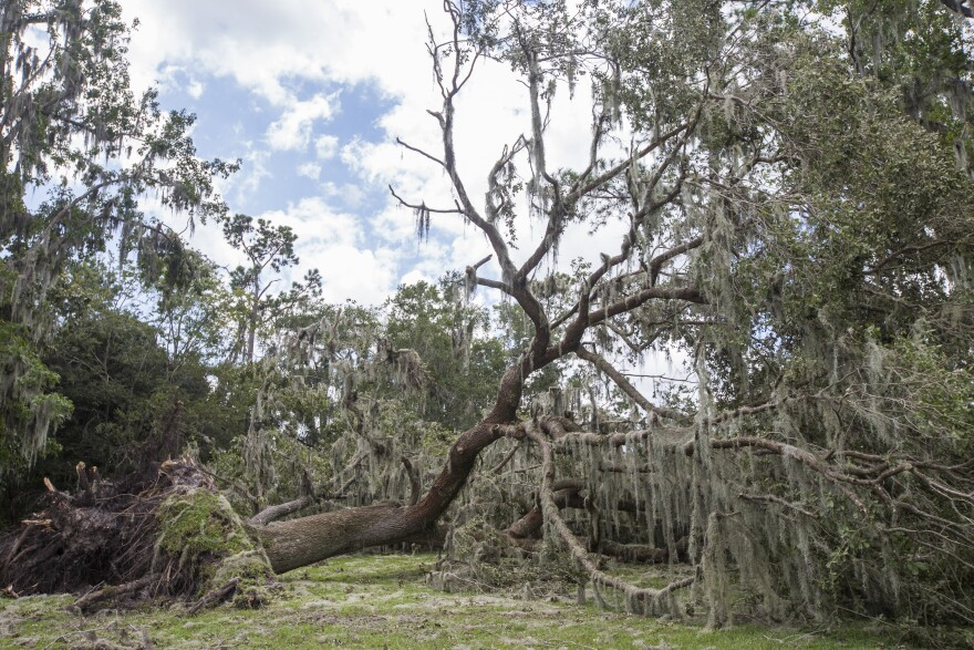 Trees damaged by a hurricane